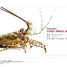 【水汕海物】馬爾地夫 海鮮中的王者 錦繡小龍蝦 。95折優惠中 !『門市熱銷、品質保證』