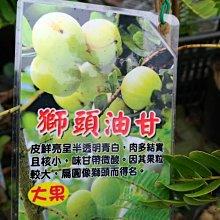╭☆東霖園藝☆╮超優質樹種--- (大果油柑)獅頭油柑--獅頭油干..大果油甘--嫁接苗--..