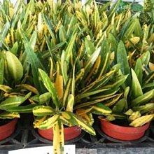 綠籬植物** 金手指變葉木/1組3棵 ** 3吋盆/高10-15cm/更鮮豔明亮【花花世界玫瑰園】R