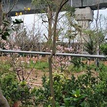 元茂園藝中壢高鐵南路園區 黃金風鈴木 庭園樹尺寸 樹齡:8年,北部地區可正常開花的品種,本商品可宅配