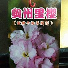 ╭☆東霖園藝☆╮日本櫻花(奧州里櫻)..另有多種品種--缺貨中