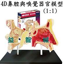 益智城《鼻子模型/鼻腔模型/嗅覺器官模型/鼻模型/DIY模型/科學教具玩具/4D MASTER 》4D鼻腔與嗅覺器官模型