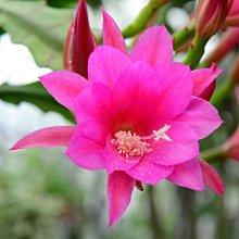 孔雀仙人掌莖葉 Epiphyllum Anastasia 總長25公分以上 [飛訊庭園]