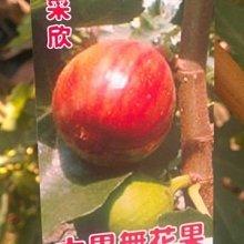 花花世界_水果苗【大果無花果】7吋盆/50cm/營養價值高 TN
