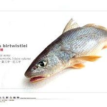 【水汕海物】 野生 三牙魚(黃三牙) 台南安平海捕 ,量少,下標前請先詢問。『門市熱銷、品質保證』
