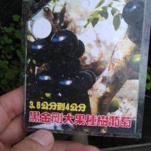 ╭☆東霖園藝☆╮新興樹種( 黑金剛大果嘉寶果)樹葡萄(嫁接苗)