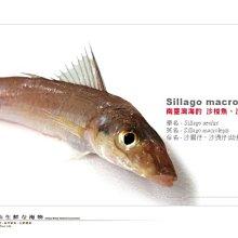 【水汕海物】海釣最鮮嫩肥美的沙梭魚(沙腸仔) 。量少,下標前請先詢問!『門市熱銷、品質保證』