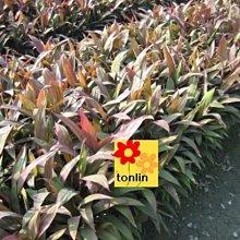 ╭☆東霖園藝☆╮優質樹種( 亮葉朱蕉)紅竹--俗稱粉竹---葉子繽紛美麗-