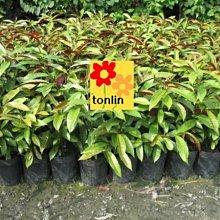 ╭☆東霖園藝☆╮超優質樹種(紅桂花 )青紫木 ...品質最佳.....  可作圍籬-