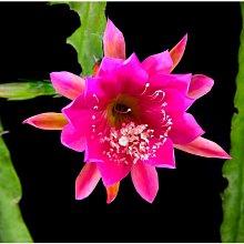 孔雀仙人掌莖葉 Epiphyllum Gitti Paetz 總長25公分以上 [飛訊庭園]