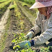 【大雪山農場】七葉膽茶300克/盒---奇蹟的靈草 台灣原生種