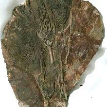 摩洛哥杯海百合(Cyathocrinites)-【兩朵】~志留紀-來自古老的地球記憶