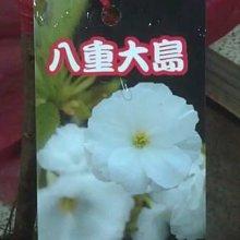 ╭☆東霖園藝☆╮日本櫻花(八重大島櫻)..另有多種品種..缺貨中