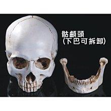 1:1樹脂骷髏頭(下巴可拆) 繪畫美術人頭骨頭顱 藝用人體肌肉骨骼 未選顏色默認發做舊白  解剖頭骨模型擺飾ARIU