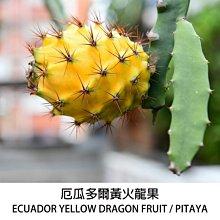 厄瓜多爾黃火龍果幼苗莖條 5支 總長150公分以上 [飛訊庭園]