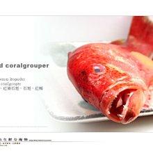 【水汕海物】野生紅條石斑魚 菲律賓海域 。『門市熱銷、品質保證』