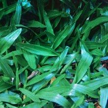 類地毯草種子(1公斤/包)