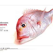 【水汕海物】高級食用魚種 赤鯮魚 基隆八斗子 頂級海捕 。優惠活動中~95折 !『門市熱銷、品質保證』
