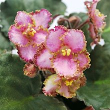 堤緣花語陶-淨化室內空氣植物-非洲紫羅蘭 Leprechauns Frolic