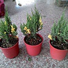 ╭☆東霖園藝☆╮超優質樹種( 斑葉龍柏 )  出售為3.5吋盆15-20公分