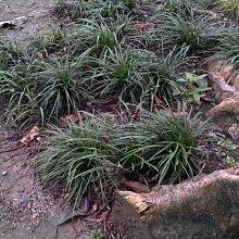 ╭☆東霖園藝☆╮超優質地被植物(沿階草)長葉沿街草 ....耐陰..