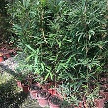 花花世界-綠籬植物* 唐竹 *-苦竹-疏節竹/高150cm/MA