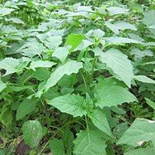 【1磅裝蔬菜種子P032】烏甜子(龍葵)~ 味道微苦甘味,風味獨特,是營養豐富的健康野菜。