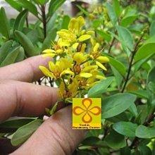 ╭☆東霖園藝☆╮常綠灌木( 金英樹 ) ..供應中 . 5吋小苗/目前沒這麼旺盛