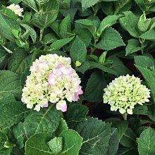 花田厝--季節花卉植物—夏季繡球花(粉)A級--虎耳草科~像一豔麗的繡球/7吋高約20-25cm