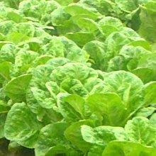【大包裝蔬菜種子L211】葉蘿蔓萵苣,全年都可種植的萵苣品種,實在無可挑剔!