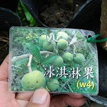 ╭☆東霖園藝☆╮水果苗(白柿)白人心果---新興果樹--嫁接苗  冰淇淋果W4