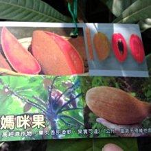 ╭☆東霖園藝☆╮稀有果樹(媽咪果)果肉可以用來做冰淇淋