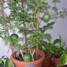 【蔬菜種子S223】蜂蜜小西瓜~可陽臺盆栽,瓜皮特薄,甜度較高,吊蔓地爬均可。抗病性強,產量高,早熟品種。