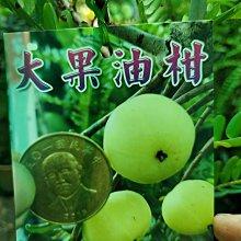 李家果苗 大果油柑 大果油甘 嫁接苗 高度70-80公分 單價400元