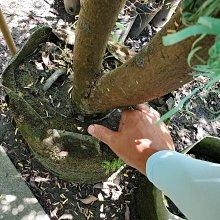 李家果苗 大果油甘 大棵成樹 掛果滿滿 單價14000元 高度2米多高 只能自取或運送