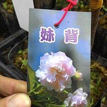 ╭☆東霖園藝☆╮日本櫻花(妹背)---另有多種品種..目前缺貨中