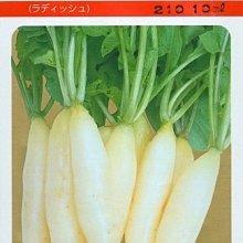【1磅裝蔬菜種子P321】白長二十日大根,速成的可愛小蘿蔔品種