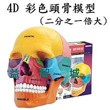 益智城《頭骨模型/頭部模型/模型教具/頭模型//DIY模型/骨頭模型/4D Master 》4D彩色頭骨模型( 1/2倍