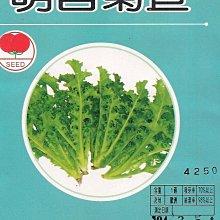 【蔬菜種子S069】菊苣(明目菜)~野性強,栽培容易,粗放不需打農藥,長期食用對眼睛極有幫助!