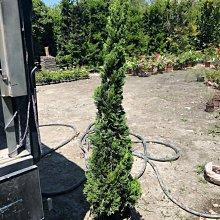 花花世界-庭園造景植物*龍柏*-繞龍柏-螺絲柏/高5尺/ 限量出售/MA*無法超取*