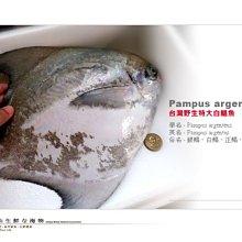 【水汕海物】特大 850G↗ 正雙藍帶 真白鯧魚。優惠活動中~95折 !『門市熱銷、品質保證』