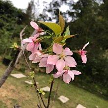 富士櫻、八重櫻美植袋裝 (非土種在挖起來的,存活率低)