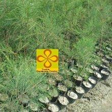 ╭☆東霖園藝☆╮優質樹種( 木麻黃) . .濱海種植.抗強風-