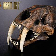 啓示錄系列 金標精工 1:1劍齒虎頭骨模型瀝青礦版