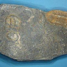 金牛礦晶化石館『古生代-三葉蟲化石-59#』vqq-13
