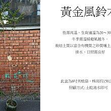 心栽花坊-黃金風鈴木/7吋/觀花植物/綠化植物/綠籬植物/售價360特價300