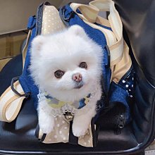 正韓藍迷彩蕾絲牽繩胸背帶oshare寵物狗貓皆可apm老地方白博美吉娃娃貴賓犬