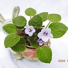 堤緣花語陶-淨化室內空氣植物-非洲紫羅蘭 Tiyuans Blue Velvet 藍絲絨[台灣育種]