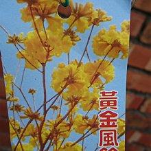 心栽花坊-黃金風鈴木/3吋/綠籬植物/觀花植物/行道樹植物/售價40特價35