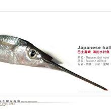 【水汕海物】船釣水針魚 巴士海峽的鮮甜美味 。『門市熱銷、品質保證』數量有限,下標前請先詢問